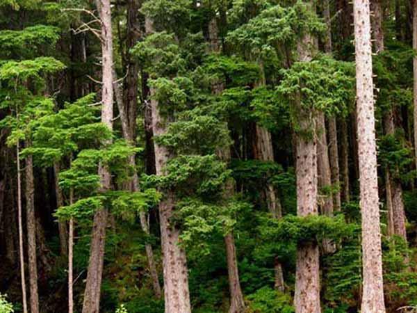 nguyên liệu làm nên hộp bảo quản gỗ tuyết tùng